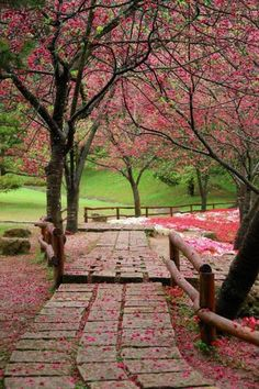 Cherry Blossoms, Taiwan