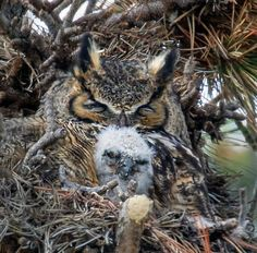 Great Horned Owls at Rocky Mountain National Park