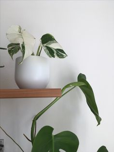 Monstera variegata bianca  #monstera