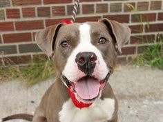 TO BE DESTROYED - 8/22/14 Brooklyn Center -P  My name is FENDI. My Animal ID # is A1010475. I am a male gray and white am pit bull ter mix. The shelter thinks I am about 2 YEARS old.  I came in the shelter as a OWNER SUR on 08/13/2014 from NY 11221, owner surrender reason stated was MOVE2PRIVA.