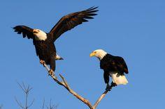 Klamath Basin National Wildlife Refuge | Catch a Glimpse of Our National Bird- The Bald Eagle!