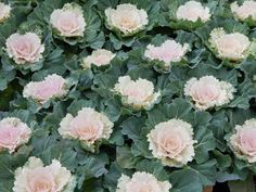 Pigeon White Ornamental Flowering Kale Flowering Kale, Ornamental Kale, Pigeon, Cabbage, Ornaments, Vegetables, Plants, Cabbages, Vegetable Recipes