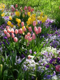 Pink tulips mixed with purple and white pansies--my favorite spring color combo.