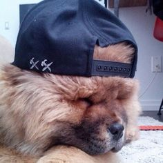 This super chill bro. | 31 Chow Chow Puppies To Make Your Day A Little Fuzzier
