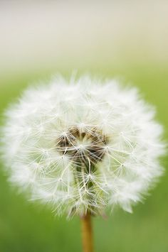 """You cannot forget if you would those golden kisses all over the cheeks of the meadow, queerly called dandelions.""   Henry Ward Beecher"