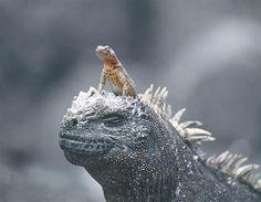 Hagedis op zeeleguaan (© Rex Features)