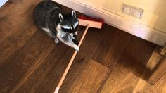 Melanie the adorably talented domestic raccoon did her best to try and sweep the floor of her human's cottage with a large broom that was too big for her little paws. Despite her lack of success, h...