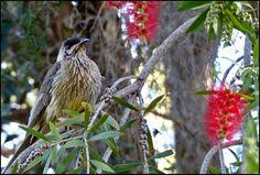 ★ Neutral Grey ★ Red Wattlebird, Dubbo NSW Australia https://www.facebook.com/permalink.php?story_fbid=1576098145992763&id=100007777789106