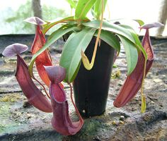 Nepenthes sanguineae