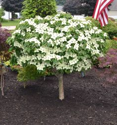Garden With The Chinese Dogwood Dwarf Tree Garden With The Chinese Dogwood Dwarf Tree : Dwarf Trees For Your Garden The post Garden With The Chinese Dogwood Dwarf Tree appeared first on Ideas Flowers. Dwarf Trees For Landscaping, Front Yard Landscaping, Landscaping Borders, Natural Landscaping, Driveway Landscaping, Landscaping Design, Backyard Patio, Walkway, Trees And Shrubs