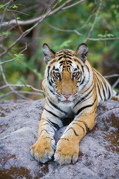 Tiger Cub in Bandhavgarh National Park, India