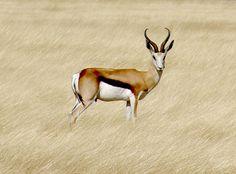 * Cabra-de-Leque *  Gazela. (Antidorcas marsupialis). Etosha, Namíbia.