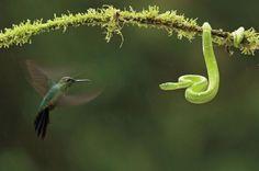Bence Máté Nature's Best Photography Green-crowned Brilliant Hummingbird and Green Pit Viper Santa Rita, Costa Rica