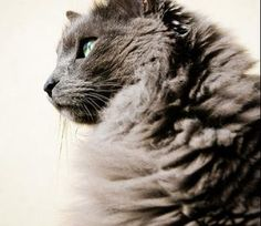 Learn everything about Nebelung Cats. Find all Nebelung Cat Breed Information, pictures of Nebelung Cats, training, photos and care tips. Pretty Kitty, Pretty Cats, Grey Cat Breeds, Nebelung Cat, Cat Pose, Horses And Dogs, Russian Blue, Monkeys, Luigi