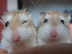 Roborovski hamsters close up