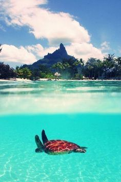 Bora bora. I want to see a turtle like this swim in person. They are such cool cute creatures.