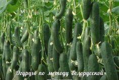 Сажаю огурцы по отличному методу белорусской тётушки. Урожай просто класс! - Jemchyjinka.ru