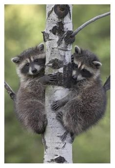 "beautiful-wildlife: "" Raccoon babies climbing tree, North America by Tim Fitzh… – Animal Kingdom Baby Raccoon, Cute Raccoon, Racoon, Cute Baby Animals, Animals And Pets, Funny Animals, Wild Animals, Beautiful Creatures, Animals Beautiful"