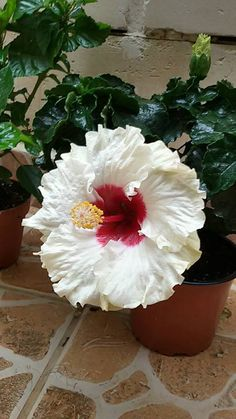 hibiscus flower drawing parts Hibiscus Tree, Hibiscus Plant, Hibiscus Flowers, Exotic Flowers, Tropical Flowers, Amazing Flowers, Colorful Flowers, Beautiful Flowers, Flower Colors