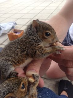 Second day, after 16 hours sleep - NUTS Squirrel Girl, Cute Squirrel, Squirrels, Cute Funny Animals, Cute Baby Animals, Animals And Pets, Squirrel Pictures, Animal Pictures, Beautiful Creatures