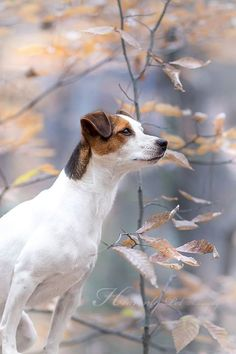 Jack Russell Terrier Wintermood by Heavenly Pet Photography