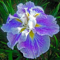 Bring nature's beauty indoors all year-round with Spring Hill Nurseries Purple and White Flowers Angel Mountain Japanese Iris Live Bareroot Perennial Plant. Purple And White Flowers, Light Blue Flowers, Colorful Flowers, Deep Purple, Iris Flowers, Planting Flowers, Flowers Garden, Spring Flowers, Garden Plants