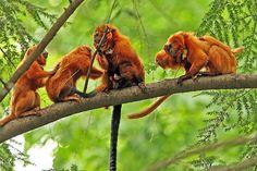 Golden lion tamarin - Wikipedia, the free encyclopedia