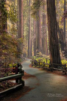 Muir Woods National Monument [Redwood forest] (Mill Valley, California) by Darvin Atkinson cr.c.