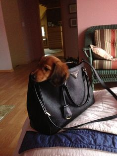 www.lesbananas.us Hiding in my #prada :)  #doxie #dachshund #puppy