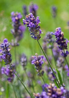 Lavender. We need to plant some more. Love the smell and it attracts bees and hummingbirds!