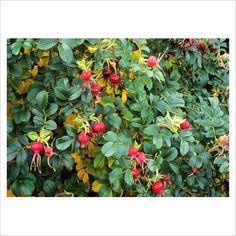 For the clematis durandii - Rosa 'Fru Dagmar Hastrup' Clematis, Hurley, Fungi, Trellis, Rose, Garden Plants, Vines, Vineyard, Berries