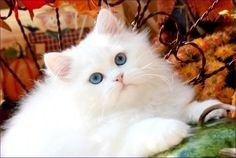 I need this cat in my life. White Persian!