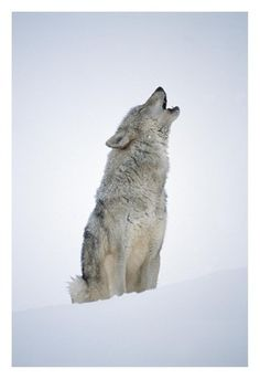Timber Wolf portrait, howling in snow, North America Posters af Tim Fitzharris på AllPosters.dk