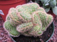 Naturaleza espinosa: Cleistocactus winteri var. cristata