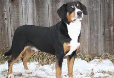 Entlebucher Mountain Dog Dog Breed Information Mountain Dog Breeds, Swiss Mountain Dogs, Dog Breeds Little, Best Dog Breeds, Herding Dogs, Purebred Dogs, Schnauzer, Entlebucher Mountain Dog, Irish Terrier