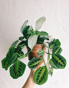 to House Plants — Lee From America Intro to houseplants! Add some sweet plant energy to your home.Intro to houseplants! Add some sweet plant energy to your home. House Plants Decor, Plant Decor, Trees To Plant, Plant Leaves, Plantas Indoor, Low Maintenance Indoor Plants, Chlorophytum, Plant Aesthetic, Plants Are Friends