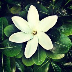 The tiare (also known as the Tahitian gardenia)