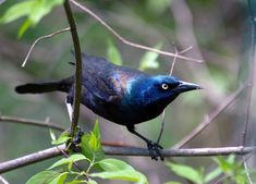 Creaker the Grackle is half the size of a crow. He belongs to the Blackbird family. His feathers are iridescent, and his eyes are yellow. The female's feathers are plain black, although shiny. He takes eggs from unwatched nests.