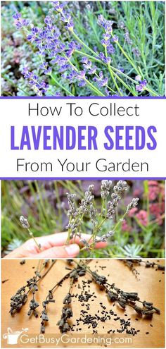 To Collect Lavender Seeds From Your Garden Did you know that you can grow new lavender plants from the seeds that you collect in your own backyard? How fun! Here are step-by-step instructions for how to collect lavender seeds from your garden.