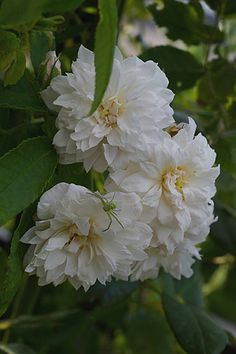 Climbing Noisette Rose: Rosa 'Princesse de Nassau' (France, before 1829)