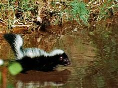 Whats To Love: Skunks Defense  Try boiling one chopped yellow onion, one chopped jalapeno pepper and one tablespoon of cayenne pepper in two quarts of water for 20 minutes. When the broth is done, strain the liquid and pour the it into a spray bottle, then squirt it all around the skunks' den