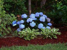 "landscaping with hydrangeas | Hydrangea macrophylla (""Bailmer"" ) ENDLESS SUMMER® - Havlis.cz"