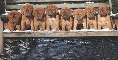 A seasoned Dogue de Bordeaux breeder contemplates the tricky task of puppy selection. Modern Molosser  |  www.modernmolosser.com