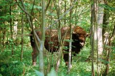 European bison – supposedly died out in 1919, but they have been reintroduced into the wild at the Białowieża National Park. The park also contains Europe's largest swath of original, old growth forest. The land & trees have gone undisturbed by man for centuries.