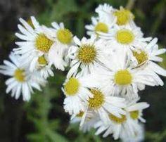 white september flower - Google Search