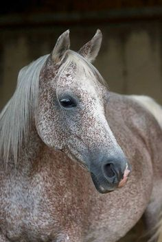 When I have dreams of riding horses it's always a flea bitten gray. All The Pretty Horses, Beautiful Horses, Animals Beautiful, Cute Animals, Beautiful Images, Horse Photos, Horse Pictures, Majestic Horse, Horse Love