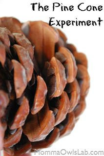 Explore the structure of a pine cone - examine the seeds and experiment with what happens to a pine cone when exposed to water.