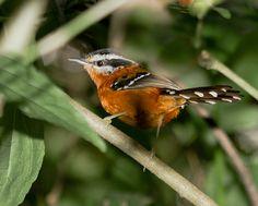 Foto trovoada (Drymophila ferruginea) por Rodrigo DAlessandro | Wiki Aves - A Enciclopédia das Aves do Brasil