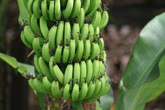 Southbroom Photo Gallery Kwazulu Natal, Banana, Fruit, Afrikaans, Food, Gallery, Roof Rack, Essen, Eten