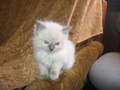 purebred kittens for adoption   RAGDOLL KITTENS PUREBRED FOR SALE ADOPTION from korumburra Victoria ...